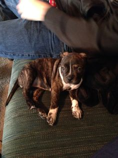 Boston terrier/pitbull mix Brindle baby! Bring me all the brindle babies and I will love them all.