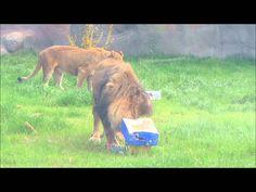 male lion Lions Pinterest Male lion Lions and Detroit zoo
