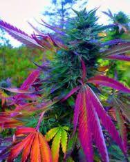 Image result for best marijuana pictures