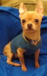 LENNY - to be adopted with Buddy is an adoptable Chihuahua Dog in Abingdon, MD. Hi my name is Lenny. I am a Chihuahua and about 4 years old. I am hoping to be adopted together with Buddy since we ar...