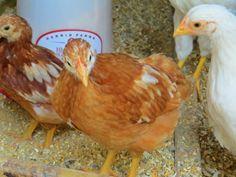 Six week old Golden Comet hen