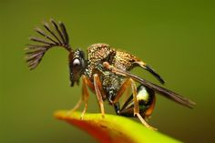Stilbuloida (© Rundstedt Rovillos/Solent News/Rex Features) wespensoort