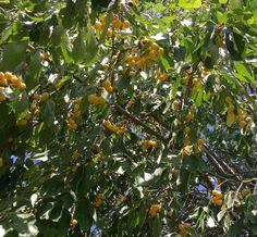Stark Gold sweet cherry via Jennifer G. | #starkbros customer photo
