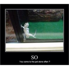 Bearded dragon-lol