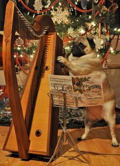 If given the chance, Pugs master harp playing quickly #pug