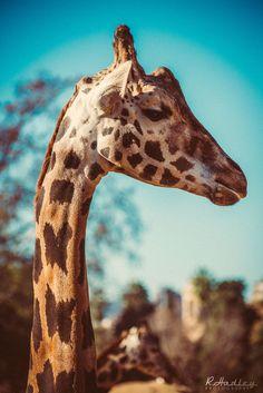 Giraffe at Barcelona