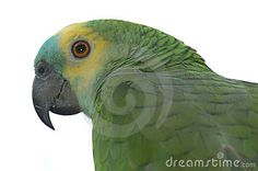 Amazon Parrot - Download From Over 36 Million High Quality Stock Photos, Images, Vectors. Sign up for FREE today. Image: 5977502 Amazon Parrot, Any Birds, Cockatiel, Exotic Birds, Parakeet, Beautiful Birds, Stock Photos, Parrots, Vectors