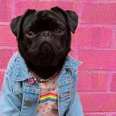 On the blog today is our latest social pug profile superstar Gigi the fashionista. Head on over to www.thepugdiary.com the learn all about @gigi_thepug_ #thepugdiary #socialpugprofile