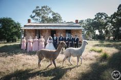 Photo bomb by alpacas at Belinda & Adric's wedding, captured by Mark Pearce Photography
