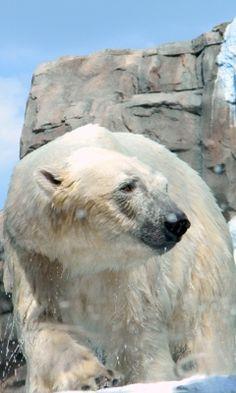 Polar bear takes a dip