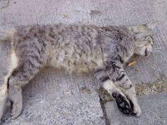 #gevonden 29.06.2014 - #kater geen chip niet gecastr Lag dood in de Bruggestraat 110 te #Menen