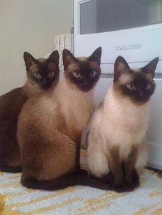 Lady, Lord e Freack We are Siamese if you please! #siamesekittens