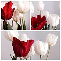 Sinfonia di tulipani