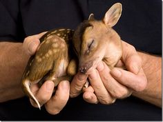 A cute baby deer being held in hands, it's taking a little nappie-poo.