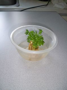My celery week 4.. I now have planted it in soil. Pinterest success :)