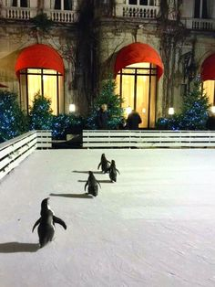 Penguins on the ice rink at The Hotel Plaza Athénée is a historic luxury hotel in Paris, France VIII, located at 25 Avenue Montaigne, near the Champs-Élysées and the Eiffel Tower.