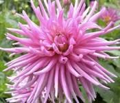 Tips for growing dahlias
