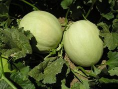 Growing Honeydew Melon in Your Garden Can Be Rewarding - http://www.organicfarmingblog.com/growing-honeydew-melon-garden-rewarding/