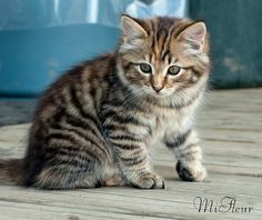 Tiger, one our 2 adorable kittens by MiFleur, busy for a couple of weeks, via Flickr