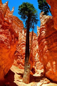 Douglas Fir on Wall Street, Amphitheater at Bryce Canyon, Utah Bryce Canyon National Park, Utah Arches Nationalpark, Yellowstone Nationalpark, Places Around The World, Around The Worlds, Beautiful World, Beautiful Places, Foto Picture, Beau Site, Great Smoky Mountains