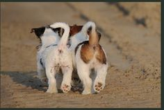 Consider this your daily reminder: don't forget about your Jack Russell Terrier. Jack Russell Terriers, Chien Jack Russel, Jack Russell Puppies, Parson Jack Russell, Fox Terriers, Terrier Dogs, Terrier Mix, Cute Puppies, Dogs And Puppies
