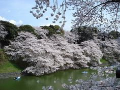 Most Amazing Trees In The World: Cherry Blossom at the Imperial Palace, Tokyo