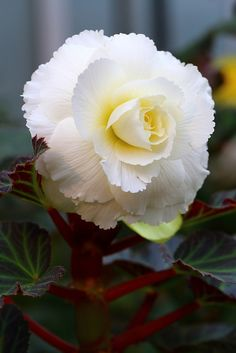 Begonia  - something so pure and white glows under a full moon. A true garden delight.