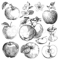 Illustration about Collection of highly detailed hand drawn apples. Illustration of blossom, food, collection - 25798508 Art And Illustration, Gravure Illustration, Engraving Illustration, Botanical Illustration, Art Illustrations, Botanical Drawings, Clip Art Vintage, Vintage Drawing, Flower Line Drawings