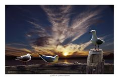 GULLS IN CONVERSATION - (prints available) bird photography, waterbirds, seagulls, sea gulls, photos of birds, prints with birds, bird prints, avian prints, pictures with birds, wildlife, wildlife photography, clouds, sunrises, sunsets,skies, cloud photography, sky photography