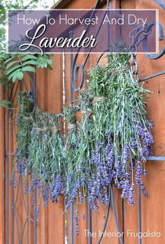 Easy to follow tips for harvesting & drying fresh Lavender from the garden | The Interior Frugalista