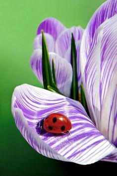 Ladybug on crocus. More At FOSTERGINGER @ Pinterest