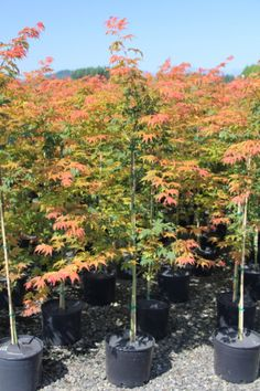 NORTH WIND® maple (Acer 'IsINW')