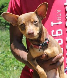 Meet Diana 22375, a Petfinder adoptable Chihuahua Dog | Prattville, AL | Diana is a 2-year-old female Chihuahua who came to the shelter as a stray. She is a mixture of dark...