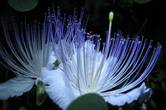 Photography Blog: Beautiful Caper Flower