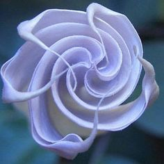 150 best rare beautiful flowers images on pinterest beautiful predictable history unpredictable past 60 amazingly beautiful flowers photo essayheirloom 150 seeds blue angel trumpet datura rare exotic fragrant night mightylinksfo