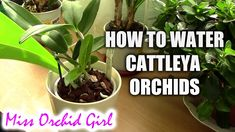 How to water Cattleya orchids - tips for a healthy orchid - Orchid Plant Guide Orchid Plant Care, Orchid Plants, Orchids In Water, Blue Orchids, Orchid Roots, Weird Plants, Cattleya Orchid, Growing Orchids, Plant Guide