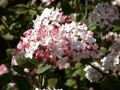 Koreanischer Duft-Schneeball - Viburnum carlesii