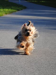 Silky Terrier: the breed I grew up with. Silky Terrier, Terrier Rescue, Terrier Dogs, Funny Dogs, Cute Dogs, Pet Psychic, Australian Terrier, Dog Varieties, Yorkshire Terrier Puppies