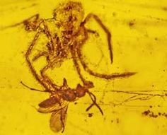 Recently discovered: the only fossil ever found that shows a spider attacking prey in its web. Preserved in amber, it's about 100 million years old.