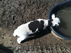 baby cow or baby sheep?