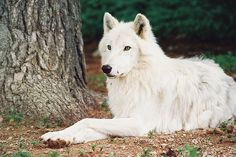 White wolves are my favorite