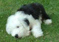 sheepdog puppy :)