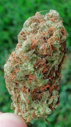 Beautiful cannabis