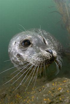 I wanna meet ya : > Harbor Seal, Tanker Reef, Monterey Bay, California Funny Seals, Cute Seals, Scuba Diving Magazine, Harbor Seal, Best Scuba Diving, Underwater World, Underwater Photos, Marine Life, Sea Creatures