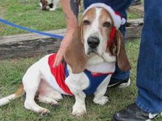 Fred is an adoptable Basset Hound Dog in Houston, TX. You can fill out an adoption application online on our official website. Fred is a sweet older guy who sadly ended up in doggy jail when his human...