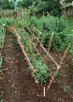 An old-fashioned way to support many tomato plants that avoids all the care of tying up each stem (but you still might want to pinch out the lateral shoots!)
