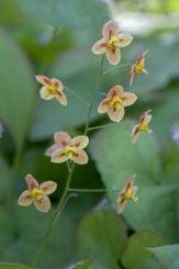 elfenbloem; 30cm bodembedekker met hartvormig groenblijvend blad...halfschaduw....;-)