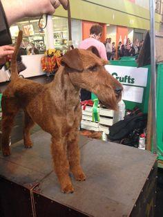 BOB Irish Terrier Rosalind Von Der Emsmuehle