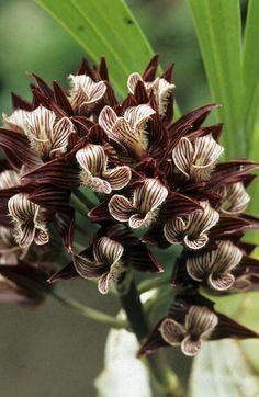 Bilderesultat for mexican orchid species
