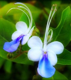 Blue Butterfly Blossoms